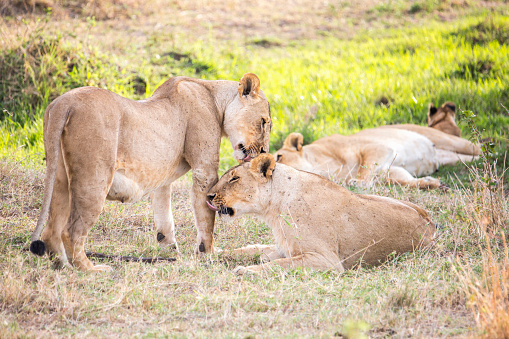 Cat「Lionesses in Maasai Mara, Kenya」:スマホ壁紙(6)