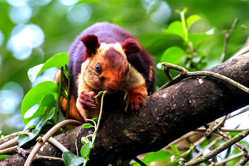 リス「Malabar Squirrel」:スマホ壁紙(19)
