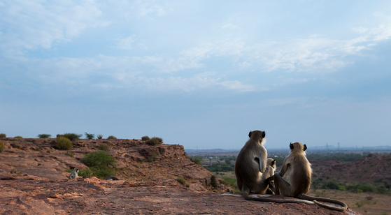 Rajasthan「Hanuman Langurs sitting on a cliff top」:スマホ壁紙(9)
