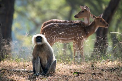 Rajasthan「Hanuman langur monkey and chital/spotted deer」:スマホ壁紙(18)