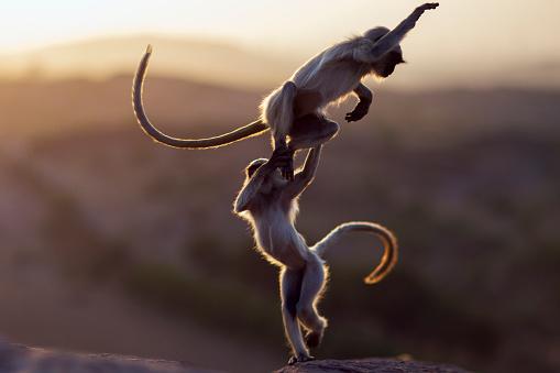 Animal Wildlife「Hanuman Langur juveniles playing」:スマホ壁紙(11)