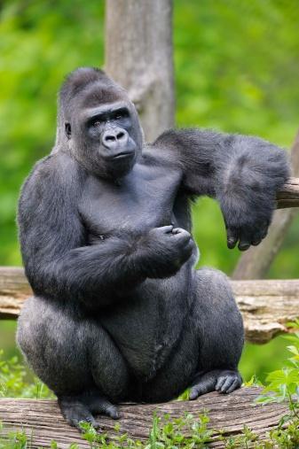 Log「Lowland gorilla sitting on log」:スマホ壁紙(17)