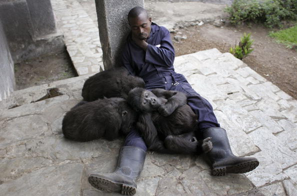 Dian Fossey「Congo Battles To Save Wildlife After Years Of War And Poaching」:写真・画像(12)[壁紙.com]
