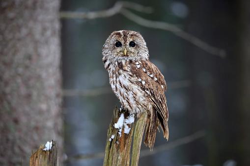 カメラ目線「Tawny Owl, (Strix aluco)」:スマホ壁紙(5)