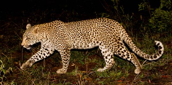 Animals Hunting「Leopard walking, Greater Kruger National Park, South Africa」:スマホ壁紙(16)