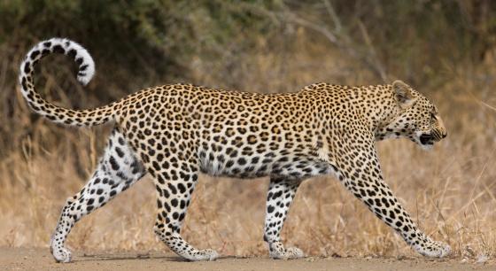 Walking「Leopard walking」:スマホ壁紙(11)