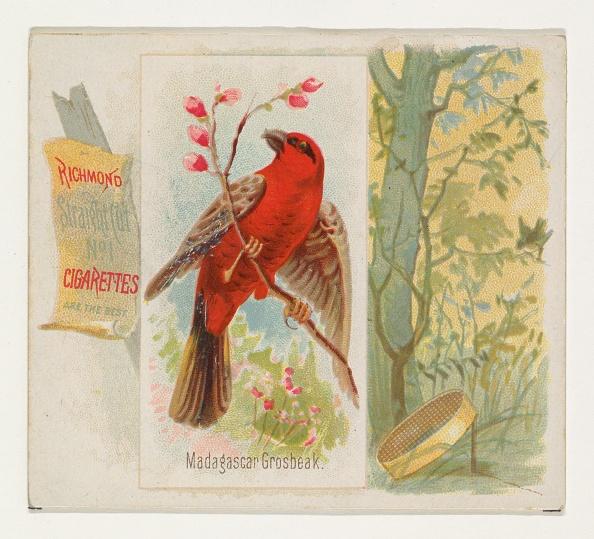 Songbird「Madagascar Grosbeak」:写真・画像(8)[壁紙.com]