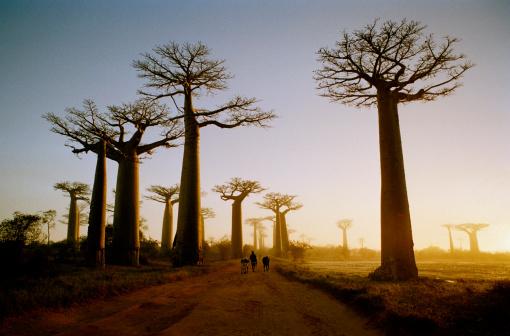 Treelined「Madagascar, Morondava, road through Boab Trees, sunrise」:スマホ壁紙(11)