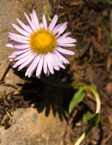 Yoho National Park「Showy daisy」:スマホ壁紙(6)