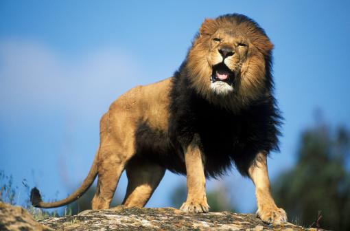 Animals Hunting「Male African Lion (Panthera leo) roaring, Masai Mara National Park, Kenya (Animal Model)」:スマホ壁紙(13)