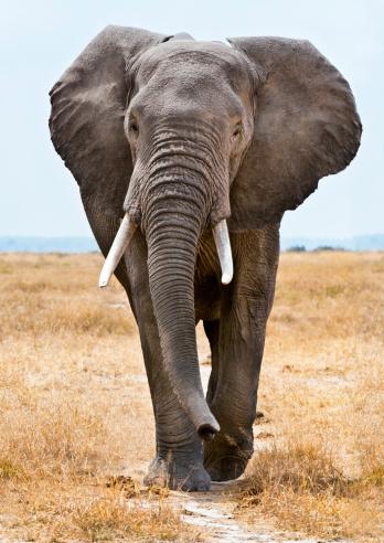 East Africa「Male African Elephant walking」:スマホ壁紙(14)