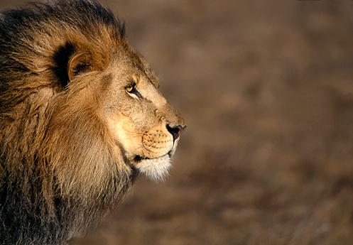 East Africa「Male African lion」:スマホ壁紙(19)