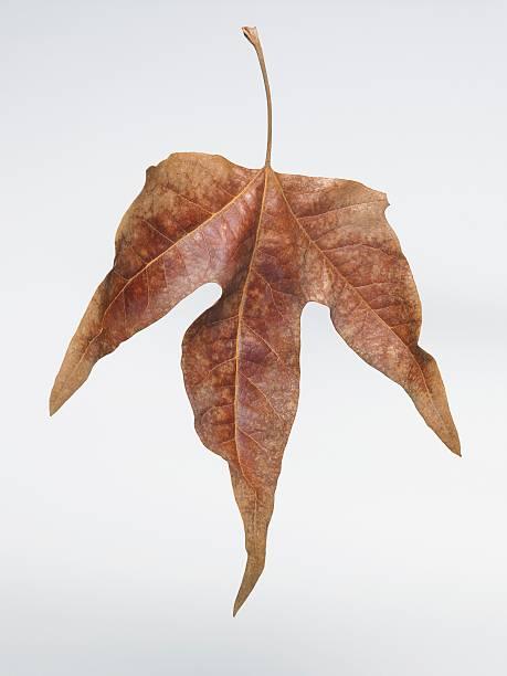 乾燥させた細やかなプラタナスの樹木の葉:スマホ壁紙(壁紙.com)