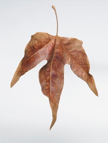 セイヨウカジカエデ「乾燥させた細やかなプラタナスの樹木の葉」:スマホ壁紙(17)