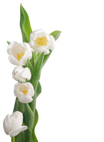 花「ホワイトのチューリップ構成」:スマホ壁紙(14)