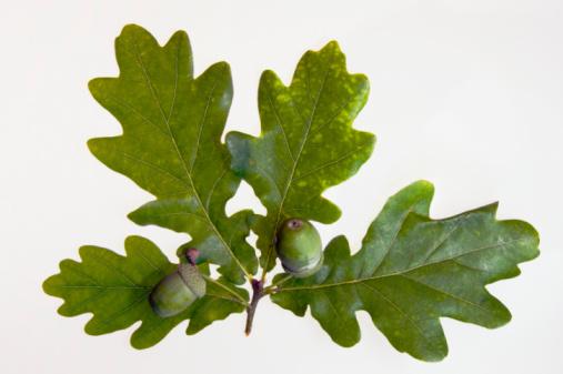 Oak Leaf「Acorns on English oak leaves (Quercus robus), close-up」:スマホ壁紙(8)