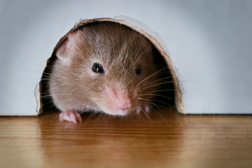 Animal Whisker「Mouse peeking out of mouse hole, close-up」:スマホ壁紙(16)