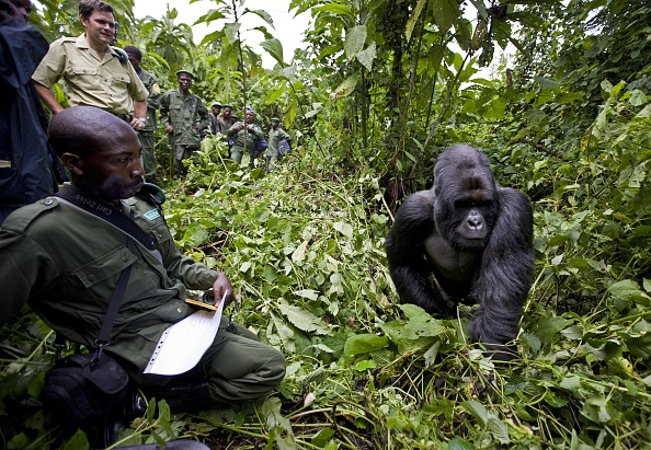 Gorilla「The Rangers of Virunga National Park」:写真・画像(19)[壁紙.com]