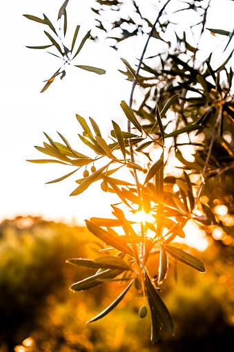 Corfu「Greece, Corfu, olive tree in backlight」:スマホ壁紙(17)