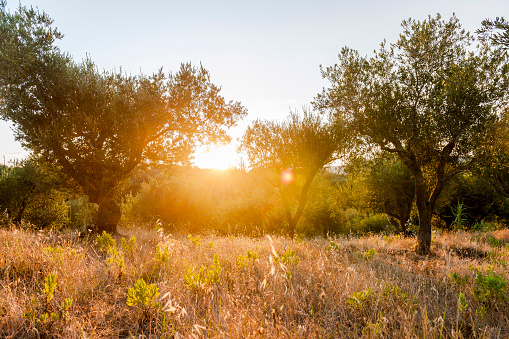 Grove「Greece, Corfu, olive orchard at sunset」:スマホ壁紙(17)
