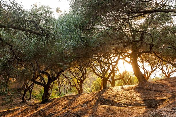 Greece, Corfu, olive orchard at sunset:スマホ壁紙(壁紙.com)
