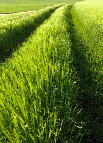 Motor Racing Track「Car Tracks Down Wheat Field」:スマホ壁紙(15)