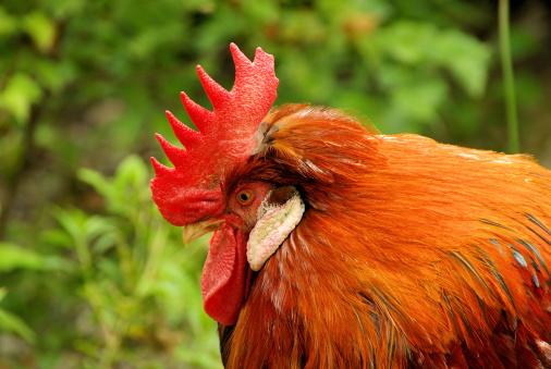 Hen「cock」:スマホ壁紙(4)