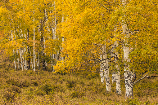 Uncompahgre National Forest「Mountainside and autumn aspen trees」:スマホ壁紙(6)