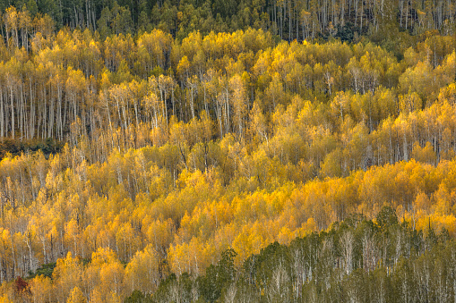 Uncompahgre National Forest「Mountainside and autumn aspen trees」:スマホ壁紙(15)