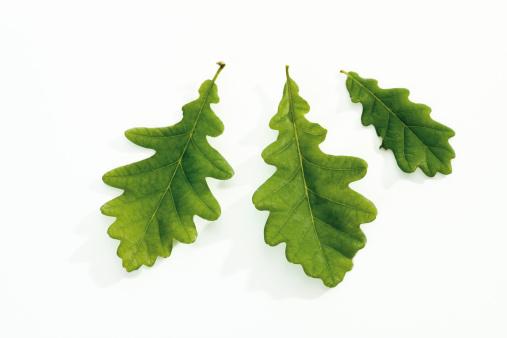 Oak Leaf「Oak leaves, close-up」:スマホ壁紙(4)