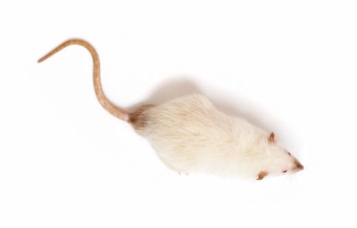 Rodent「mouse」:スマホ壁紙(15)