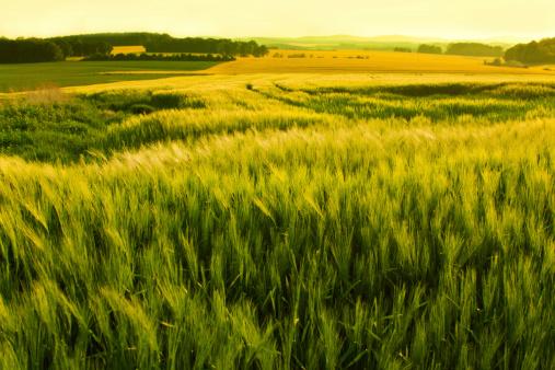 Planting「sunshine over a wheat field」:スマホ壁紙(3)