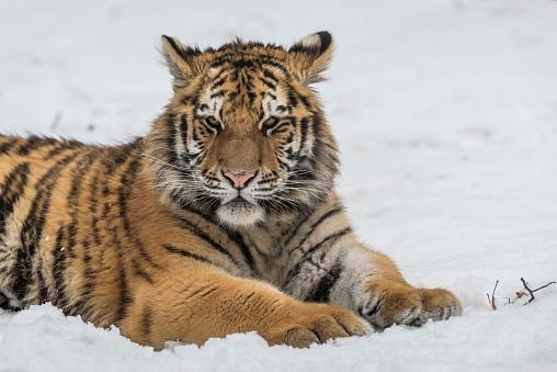 虎「Young Siberian tiger lying in snow」:スマホ壁紙(3)