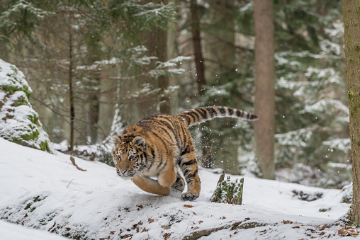 Animals Hunting「Young Siberian tiger hunting in forest in snow」:スマホ壁紙(11)