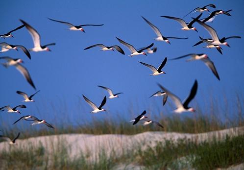 Choosing「Flock of Black Skimmers」:スマホ壁紙(18)