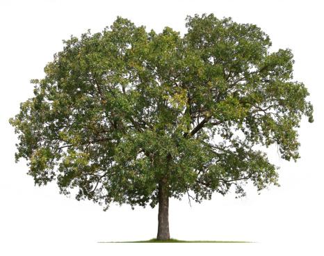 Single Tree「Oak Tree」:スマホ壁紙(16)