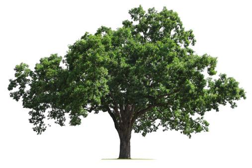 Deciduous tree「Oak Tree」:スマホ壁紙(14)