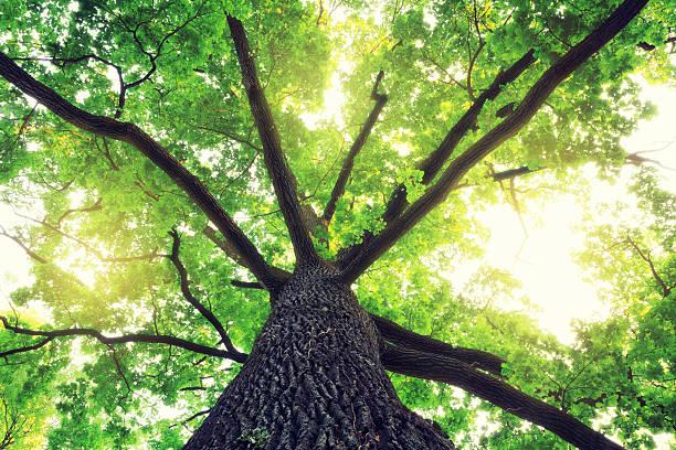 オークの木:スマホ壁紙(壁紙.com)