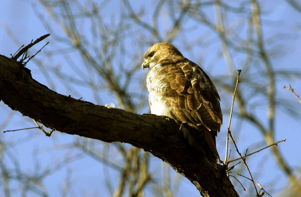 Hawk - Bird「Hawks Homeless After Eviction From NYC Co-Op」:写真・画像(7)[壁紙.com]