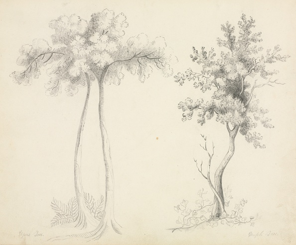 Tree「Studies Of Upas And Maple Trees. Creator: Mary Altha Nims (American」:写真・画像(9)[壁紙.com]