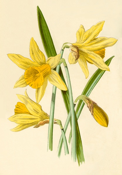 White Background「Daffodil」:写真・画像(4)[壁紙.com]
