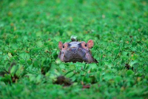 Hippopotamus「Hippopotamus (Hippopotamus amphibius) calf, Tanzania」:スマホ壁紙(18)