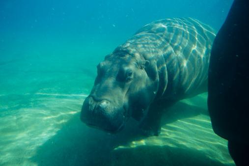 カバ「Hippopotamus (Hippopotamus amphibus), underwater」:スマホ壁紙(2)