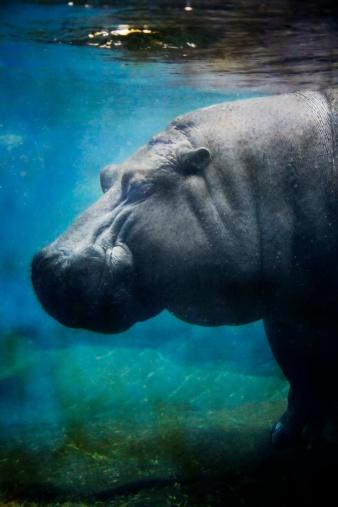 カバ「Hippopotamus underwater」:スマホ壁紙(6)