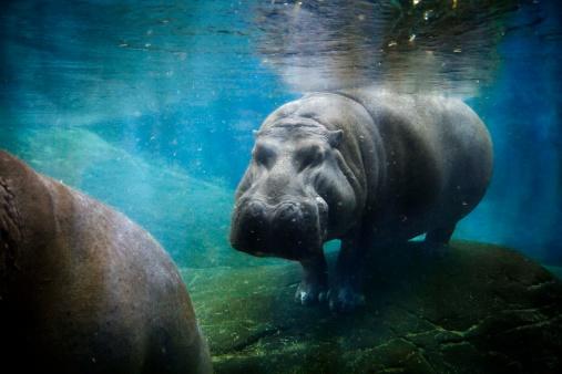 カバ「Hippopotamus underwater」:スマホ壁紙(7)