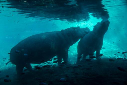 Hippopotamus「Hippopotamus underwater」:スマホ壁紙(13)