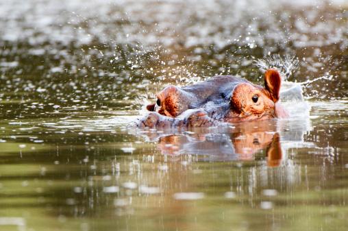 カバ「Hippopotamus, Mana Pools NP, Zimbabwe」:スマホ壁紙(9)