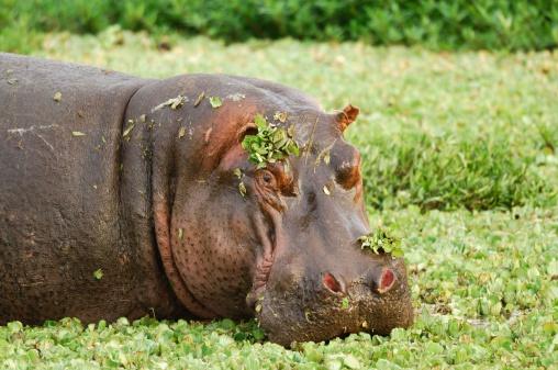 Hippopotamus「Hippopotamus in a swamp」:スマホ壁紙(5)
