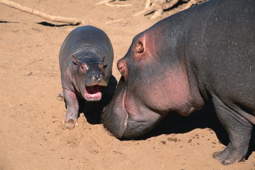 カバ「Hippopotamus (Hippoptamus amphibius) with calf, Masai Mara N.R, Kenya」:スマホ壁紙(19)