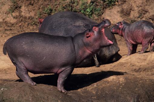 カバ「Hippopotamus (Hippopotamus amphibius) protecting young, Kenya」:スマホ壁紙(5)